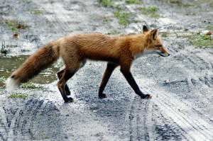 crvena lisica, cesta