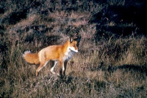 le renard roux, prédateur, mammifère