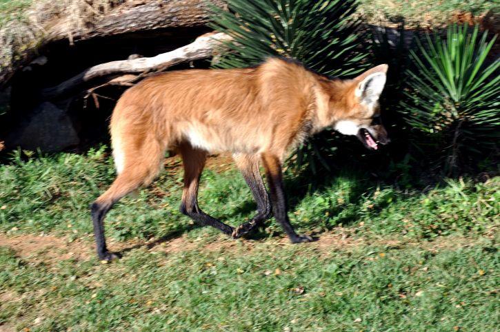 red, fox, vulpes, vulpes