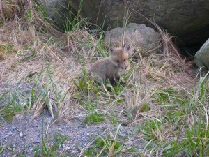 red fox, vulpes vulpes adorable, baby, small, canine