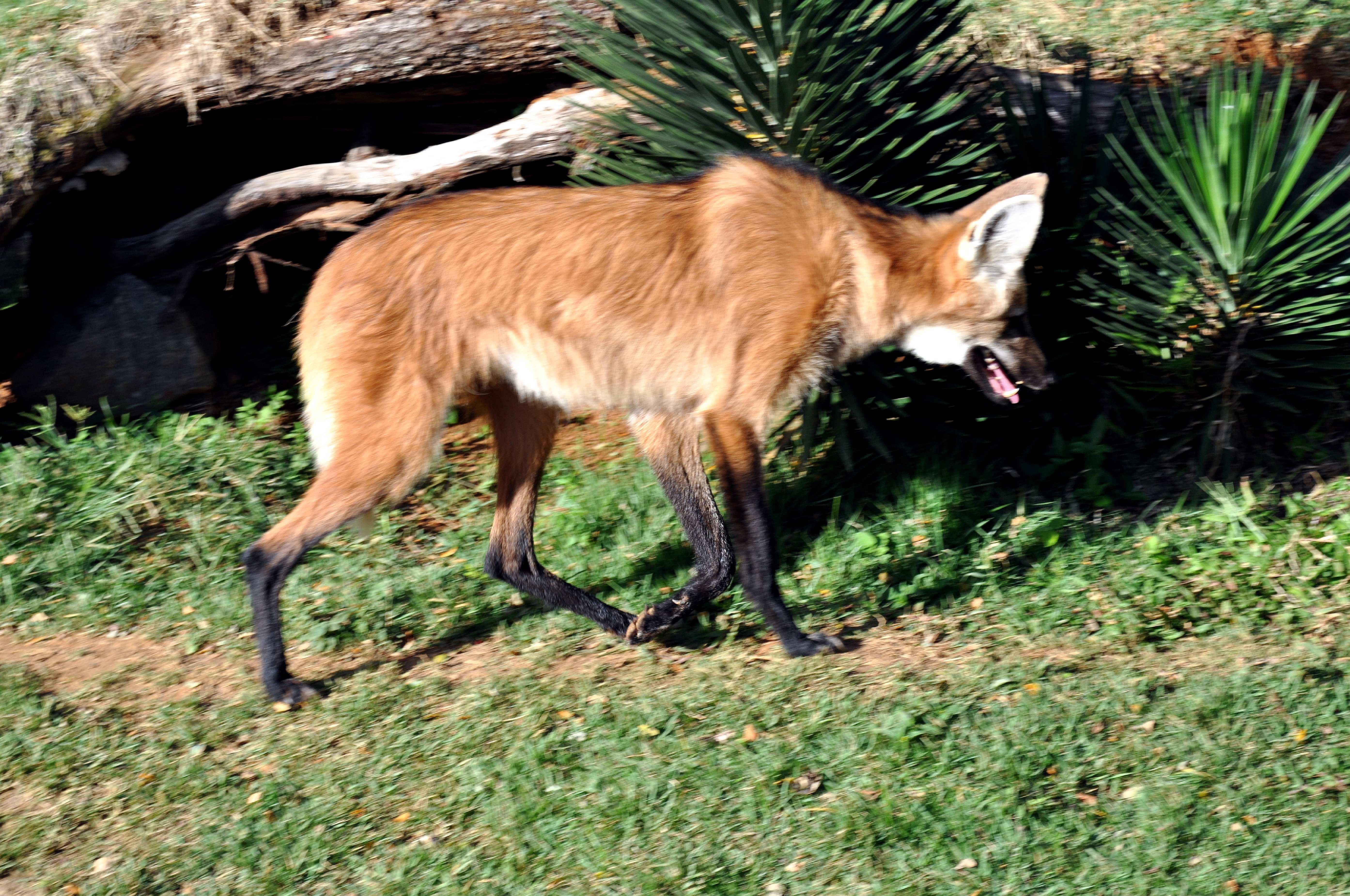 Free photograph; red, fox, vulpes, vulpes
