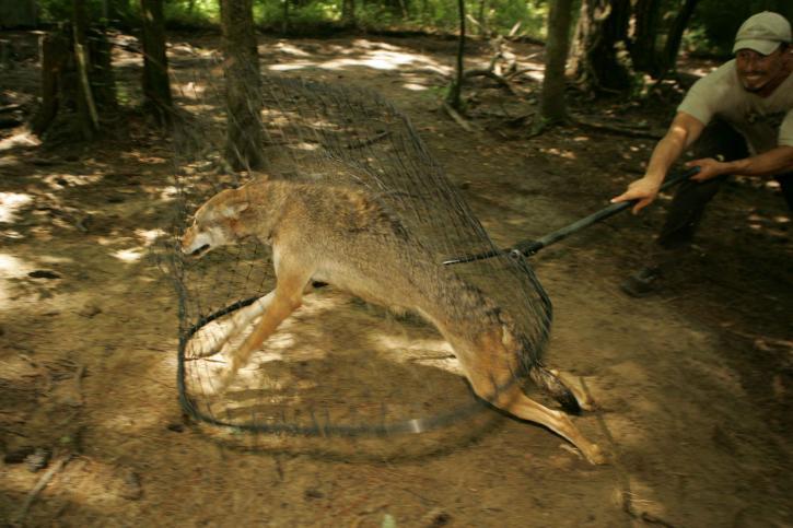 red wolf, capture, net