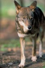 loup rouge, mâle, fron, vue