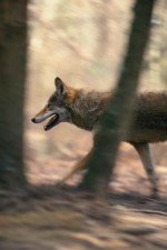 red wolf, running, canis rufus