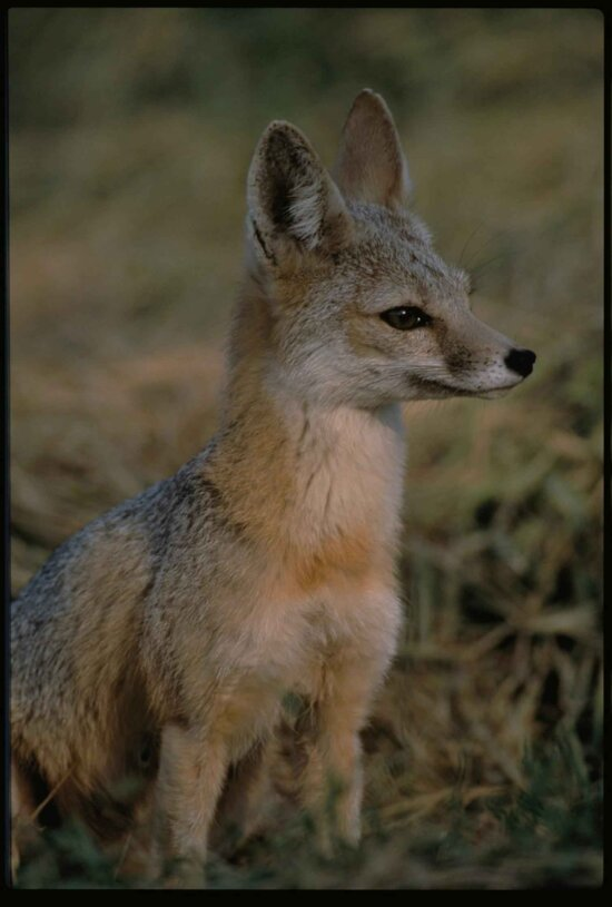 joaquin, kit, fox, carnivore, predator, mammal