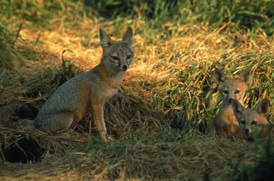 joaquin, kit, fox, family, sit, grasses, vulpes macrotis, mutica