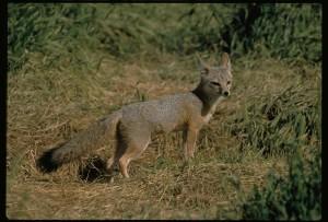 Joaquin, kit, fox, male