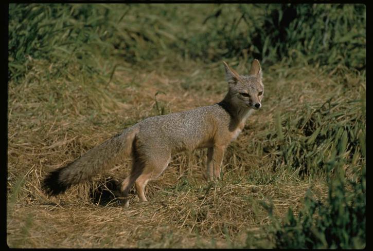 Joaquin, kit, renard, mâle