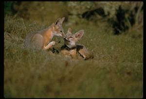 Joaquin, kit, foxes