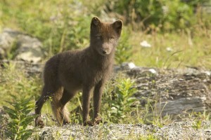 Sanak, le renard, le renard arctique, alopex, lagopus