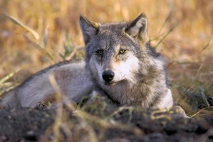 endangered, gray wolf, canis lupus