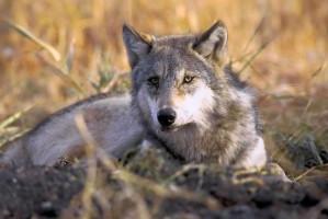 en voie de disparition, le loup gris, canis lupus