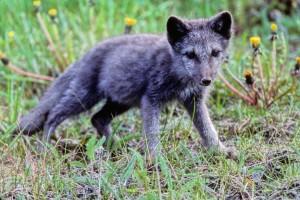 renard arctique, chiot