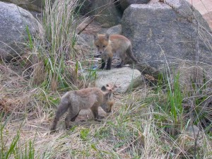 two, baby, red, foxes