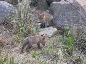 deux, bébé, rouge, renards