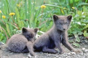 deux, mignon, renard, chiots