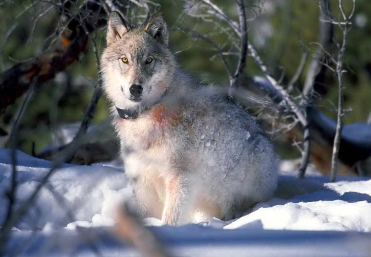 white, polar, Arctic wolf, snow