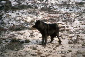wild, black wolf, animal, melanistic, color, variant, grey, wolf, canis lupus