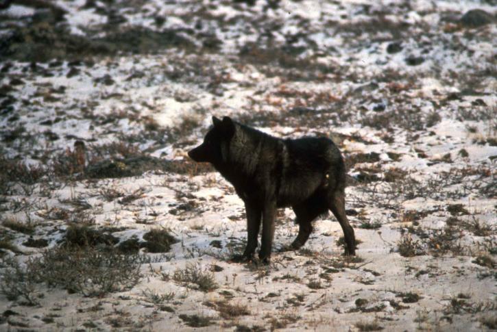 sauvage, loup noir, animal, mélanique, couleur, variante, gris, loup, canis lupus