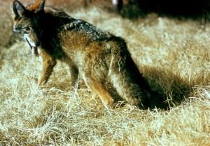 wild, coyote