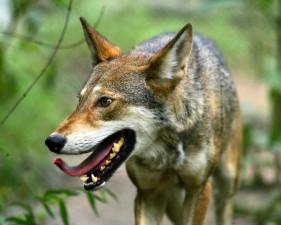 merveilleux, de près, belle, loup rouge, canis rufus