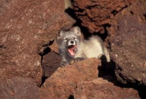 yawning, Arctic, fox