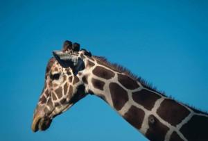 Africano, mammifero, reticolato, giraffe