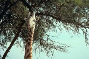Africana, Masai, jirafa, animal