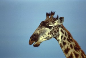 jirafa, africano, mamífero