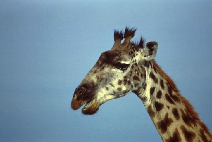 giraffe, African, mammal