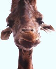 jirafa, la cara