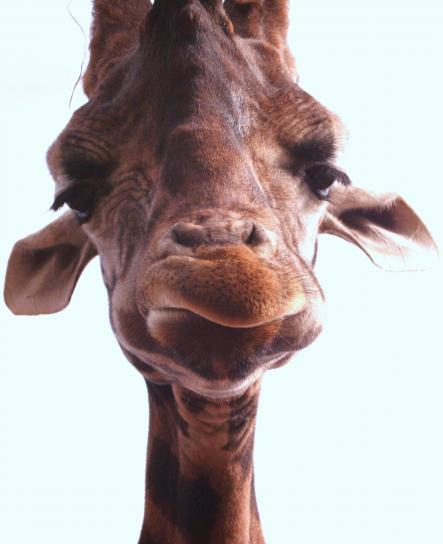 girafe, visage