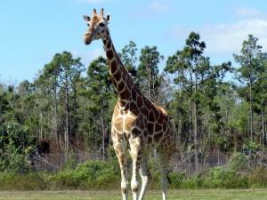 girafe, giraffa, camelopardalis