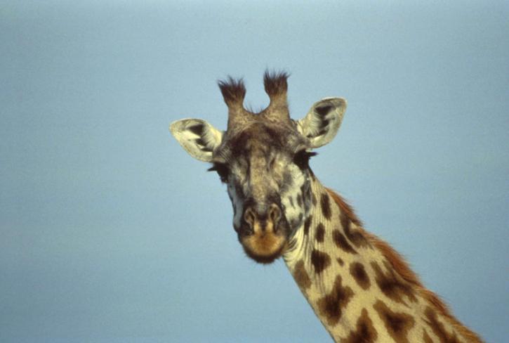 giraffe, head, close