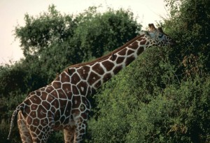 reticulated, giraffe, Kenya, national park