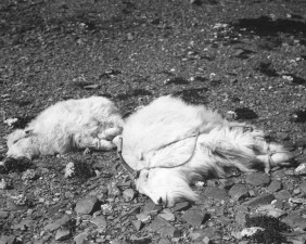 adult, female, young male, mountain, goats, trussed, ready, transfer