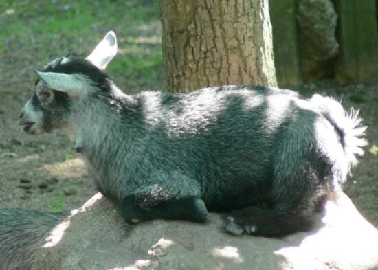 cute, goat, kid