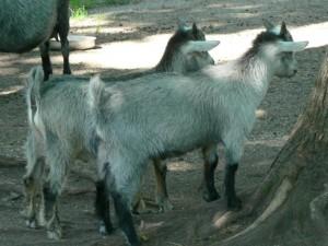 goat, kids