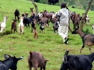 herding, goats, Butembo, livestock, health, livestock, population, growth