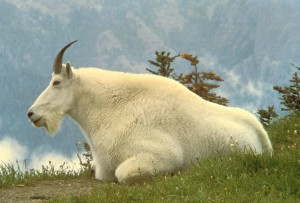 male, mountain, goat, animal, oreamnos, Americanus