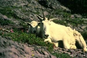 mountain, goat, hills