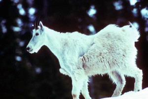 mountain, goat, young, animal