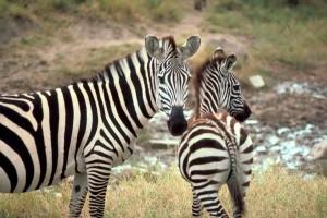 yde, afrikansk, zebra