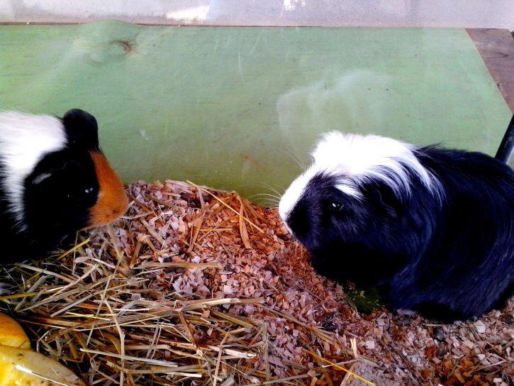 black, white, guinea, pigs, animals