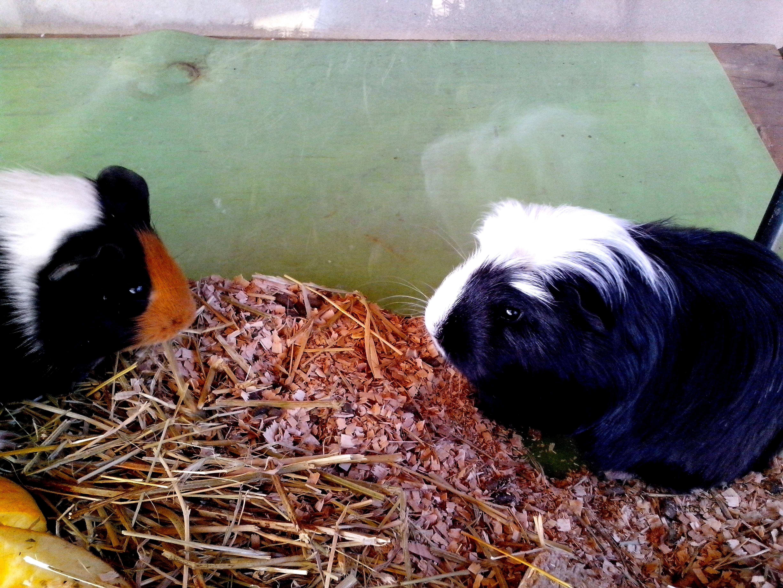 Free photograph; black, white, guinea, pigs, animals