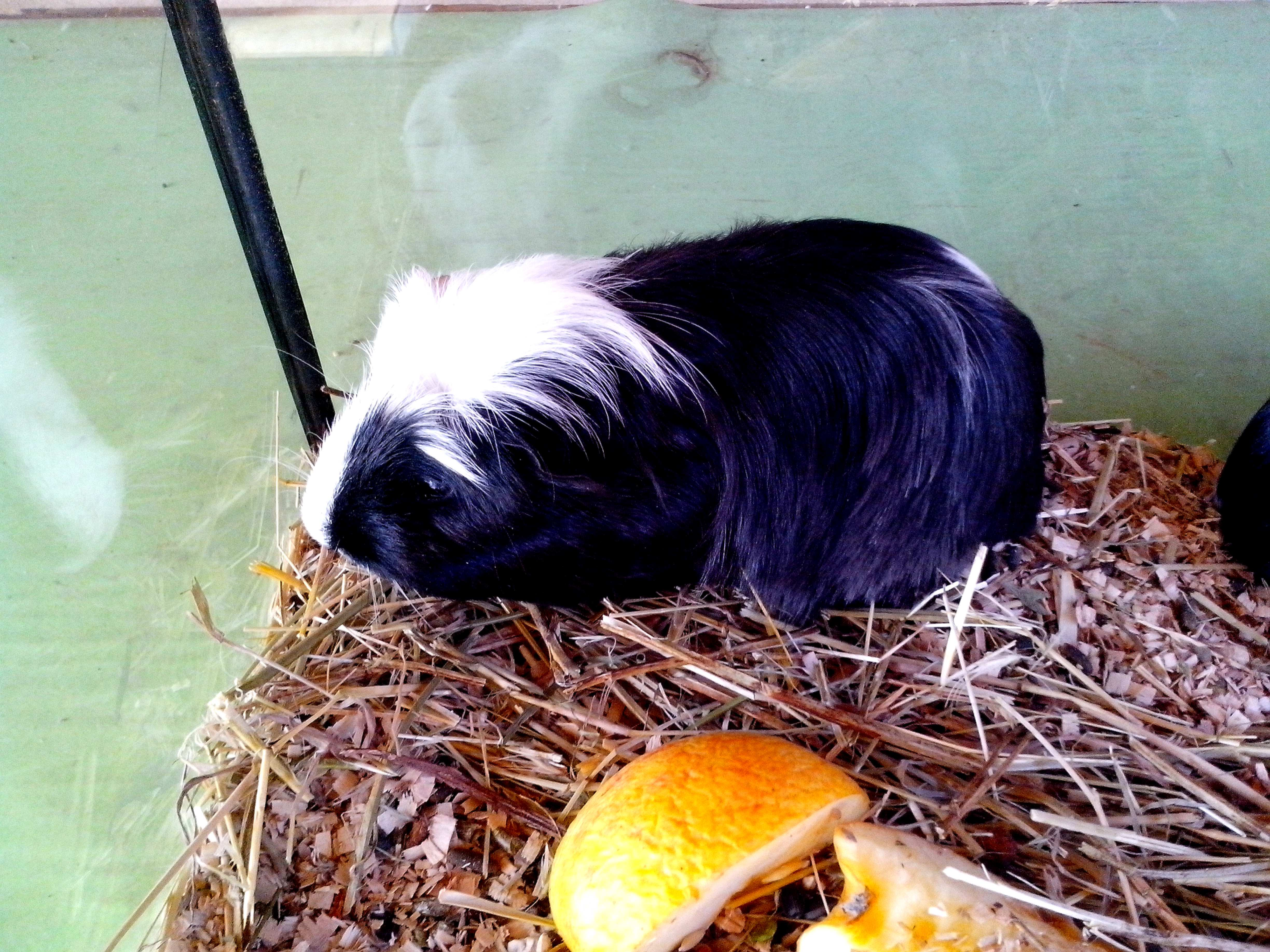 Free photograph; cavia, porcellus, rodent