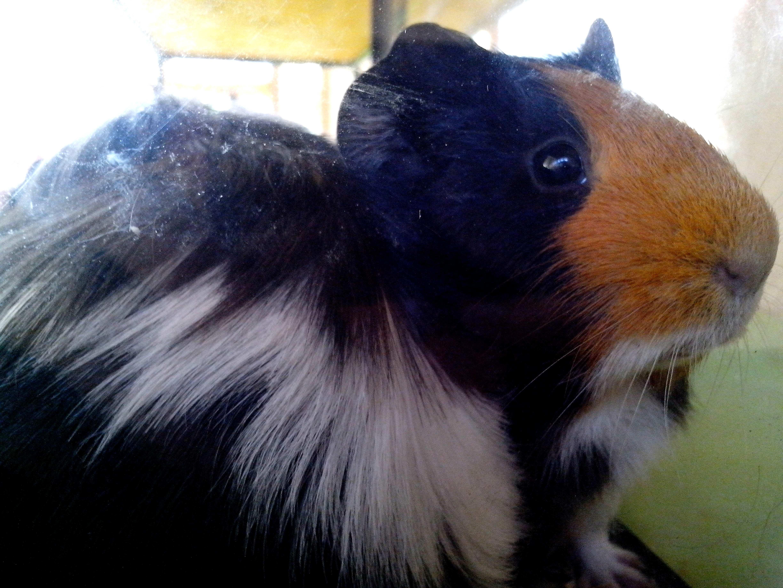 Free photograph; guinea, pig, animal, pet
