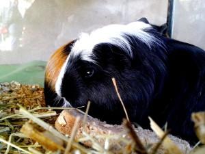 Guinée, porc, animal de compagnie