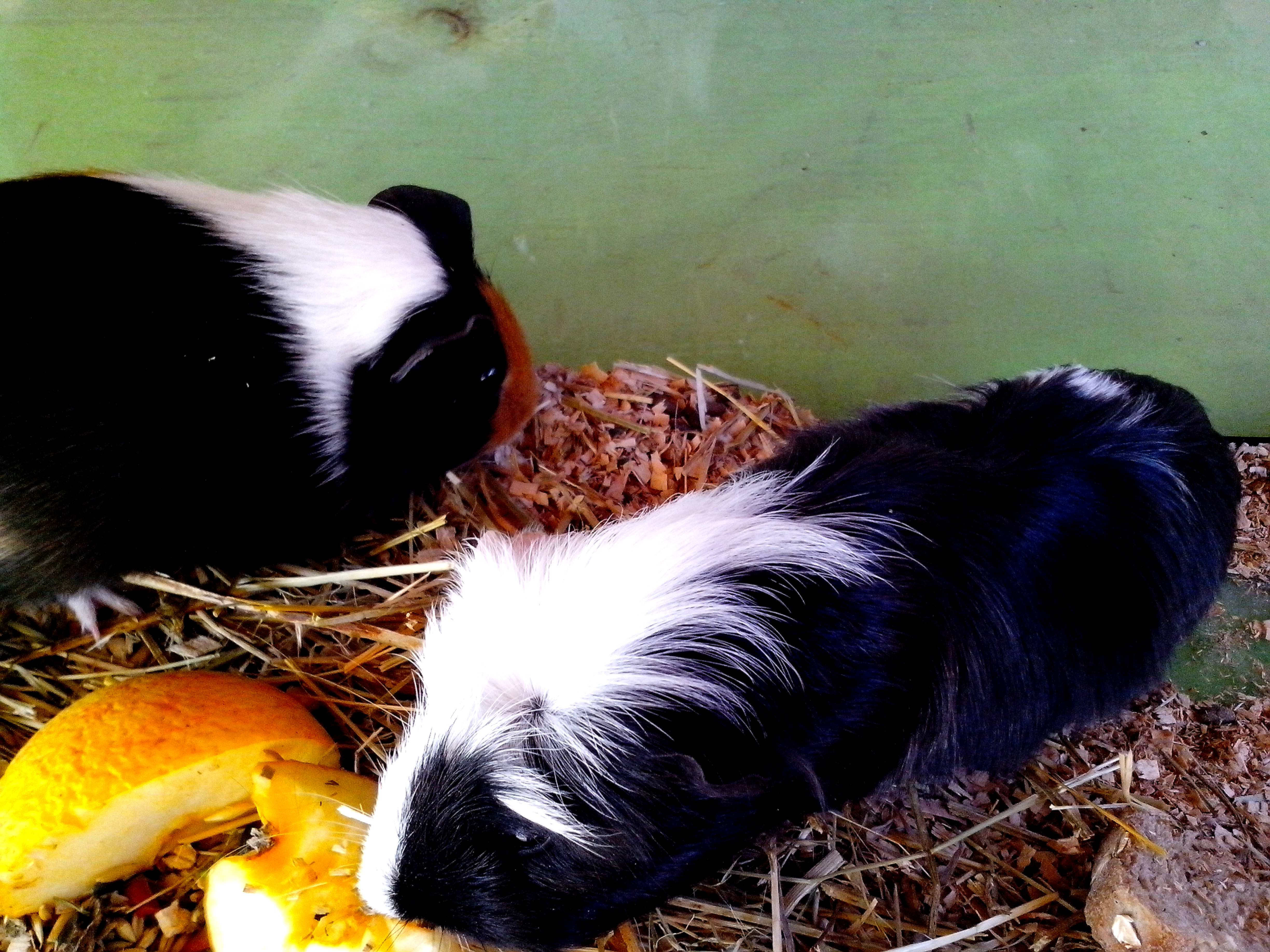 Free photograph; guinea, pigs, eating, fruit