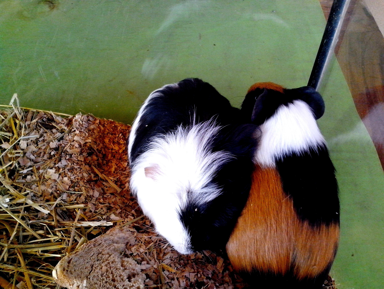 Free photograph; guinea, pigs, terrarium